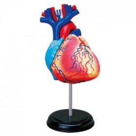 MGM - Explora - Anatomie du coeur - Expérience anatomie